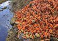 تضییع حقوق کشاورزان زحمتکش با پایان شرکتهای تعاونی روستایی/کیومرث امیری